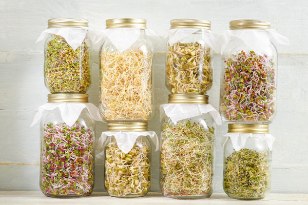 Mason jars covered with cheesecloth with sprouts growing inside.