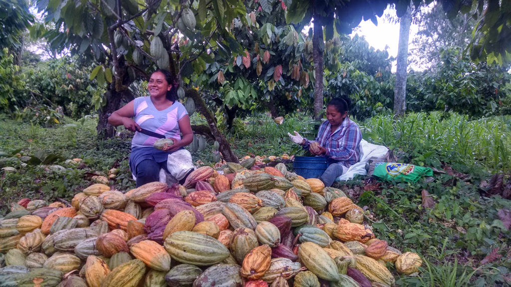 Taza Chocolate Direct Trade Maya Mountain Cacao Partner Profile | Harvesting Cacao