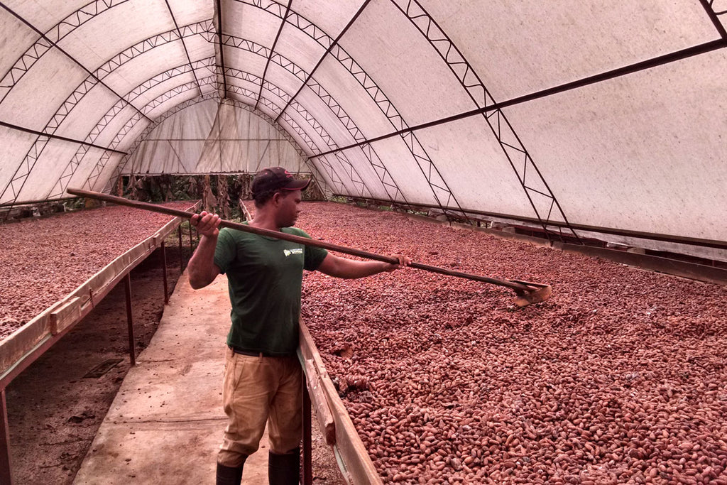 Taza Chocolate Direct Trade ÖKO Caribe Partner Profile |  Drying Cacao