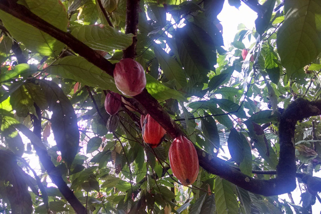 Taza Chocolate Direct Trade Finca Elvesia Partner Profile | Finca Elves Cacao Pods