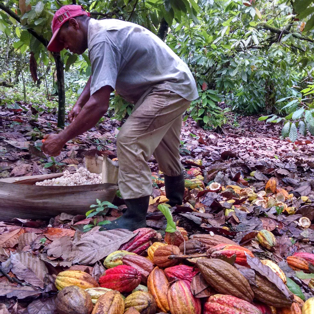 Taza Chocolate Direct Trade ÖKO Caribe Partner Profile | Harvesting Cacao