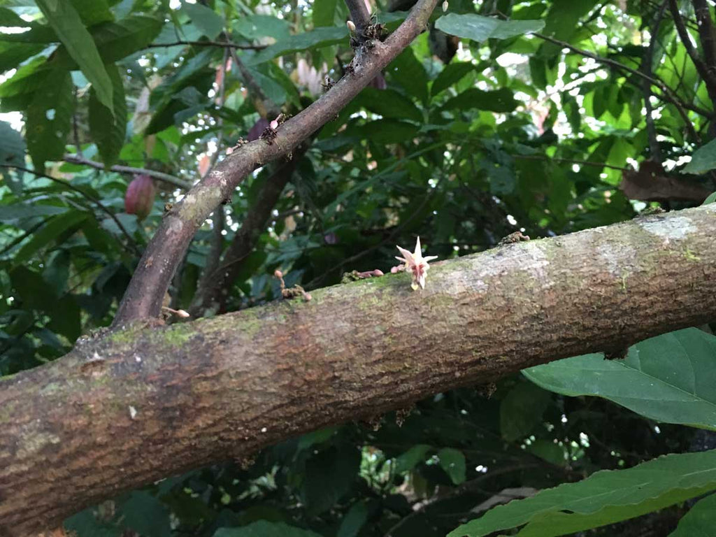 When pollinated, this tiny flower will turn into a cacao pod!