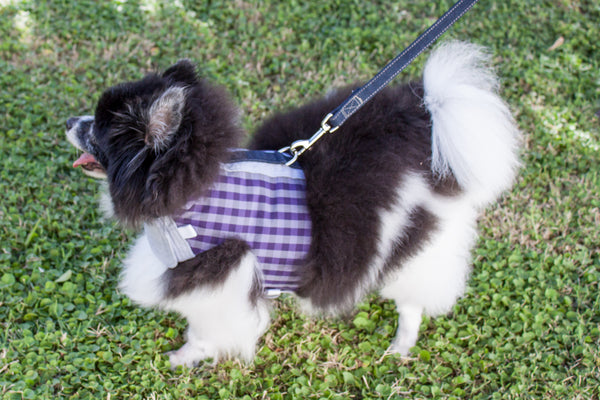 Miska the Pomeranian wears her custom comfort vest harness with leash attached at back