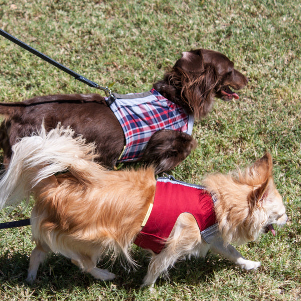Pipsqueak and Bosco walking in their Comfort Vest Harnesses for small dogs