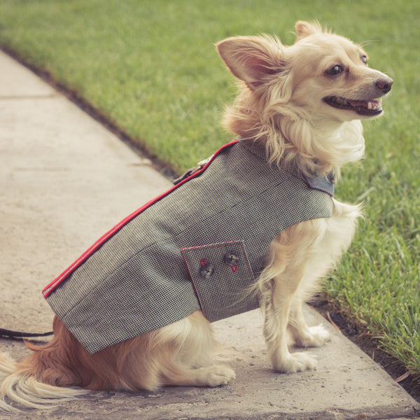 happy Pipsqueak in jacket | oxforddogma.com