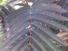 Albizia 'Evi's Purple Hortusconclusus.be sierboom