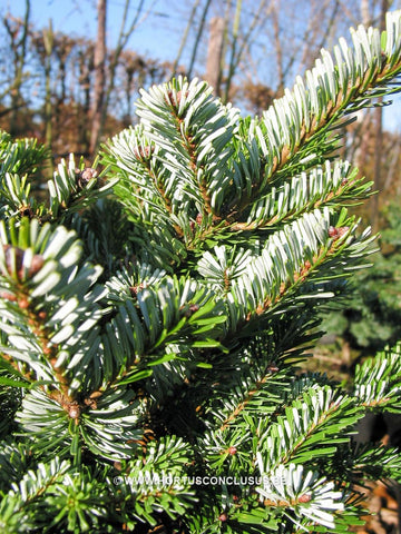 Abies veitchii 'Hedergott'