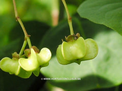 Euonymus planipes - Heester - Hortus Conclusus  - 3