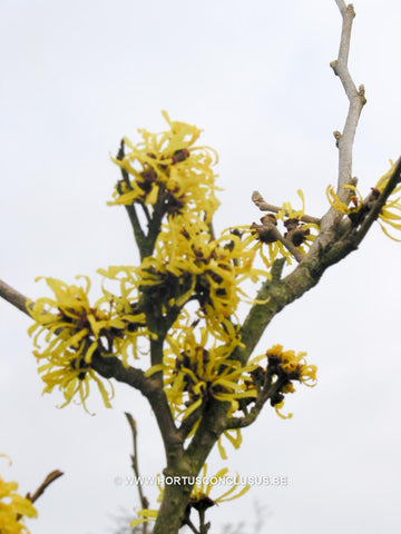 Hamamelis x intermedia 'Angelly'