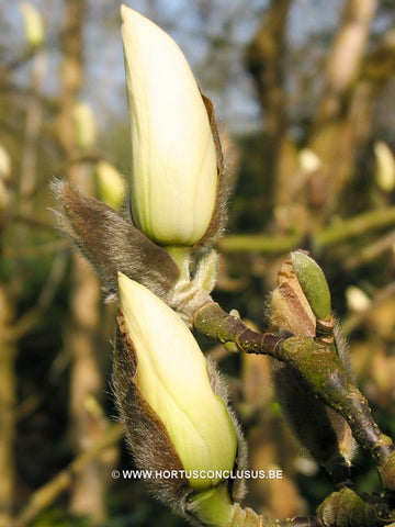 Magnolia 'Anticipation'