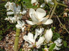 Magnolia 'Anticipation' - Sierboom - Hortus Conclusus  - 3