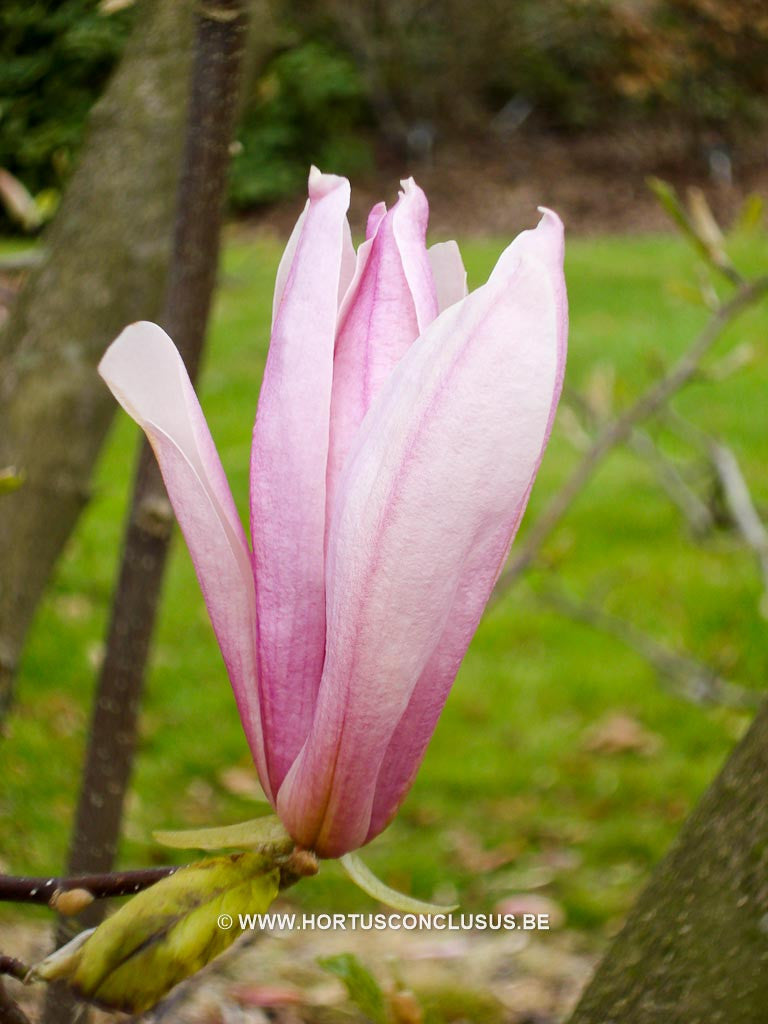 Magnolia 'Betty' - Sierboom - Hortus Conclusus  - 1
