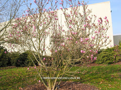 Magnolia 'Betty' - Sierboom - Hortus Conclusus  - 5