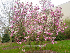 Magnolia 'Betty' - Sierboom - Hortus Conclusus  - 9