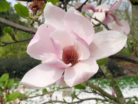 Magnolia 'Big Dude'