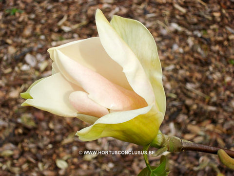 Magnolia 'Curly Head'