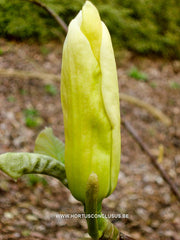 Magnolia 'Curly Head' - Sierboom - Hortus Conclusus  - 2