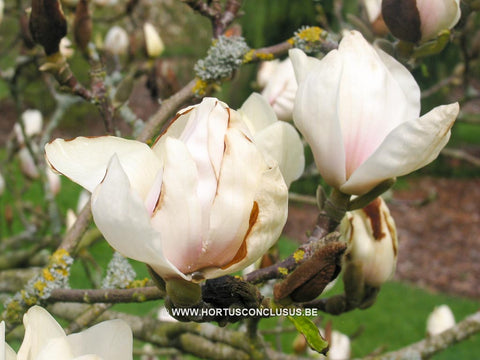 Magnolia 'Dark Shadow'