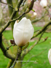 Magnolia 'Dark Shadow' - Sierboom - Hortus Conclusus  - 2