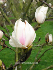 Magnolia 'Dark Shadow' - Sierboom - Hortus Conclusus  - 3