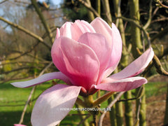 Magnolia 'Eleanor May' - Sierboom - Hortus Conclusus  - 3