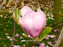 Magnolia 'Eleanor May' - Sierboom - Hortus Conclusus  - 4