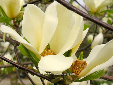 Magnolia 'Goldfinch'