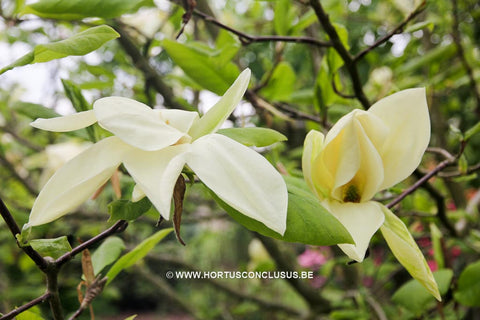 Magnolia 'Green Snow'