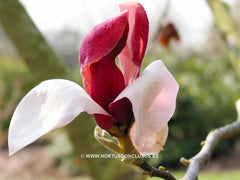 Magnolia 'Hot Lips' - Sierboom - Hortus Conclusus  - 1