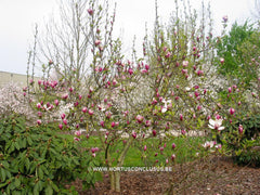 Magnolia 'Hot Lips' - Sierboom - Hortus Conclusus  - 6