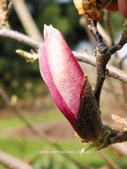 Magnolia 'Hot Lips' - Sierboom - Hortus Conclusus  - 7