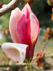 Magnolia 'Hot Lips' - Sierboom - Hortus Conclusus  - 8