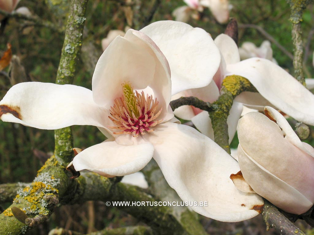 Magnolia 'Leather Leaf' - Sierboom - Hortus Conclusus  - 1