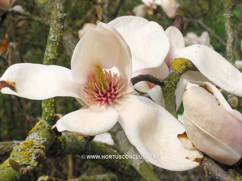 Magnolia 'Leather Leaf'