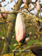 Magnolia 'Leather Leaf' - Sierboom - Hortus Conclusus  - 2