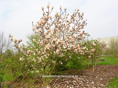 Magnolia 'Leather Leaf' - Sierboom - Hortus Conclusus  - 3