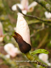 Magnolia 'Leather Leaf' - Sierboom - Hortus Conclusus  - 4