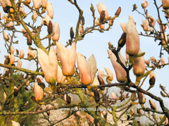 Magnolia 'Leather Leaf' - Sierboom - Hortus Conclusus  - 6