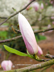 Magnolia 'Peter Smithers' - Heester - Hortus Conclusus  - 2