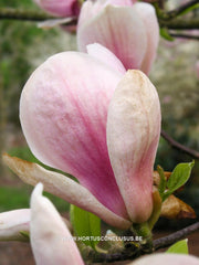 Magnolia 'Peter Smithers' - Heester - Hortus Conclusus  - 3