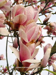 Magnolia 'Peter Smithers' - Heester - Hortus Conclusus  - 6