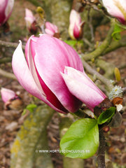 Magnolia 'Pickard's Firefly' - Heester - Hortus Conclusus  - 4