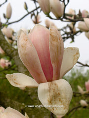 Magnolia 'Rouged Alabaster' - Sierboom - Hortus Conclusus  - 4