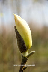 Magnolia 'Royal Flush' - Sierboom - Hortus Conclusus  - 1