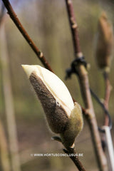 Magnolia 'Royal Flush' - Sierboom - Hortus Conclusus  - 2