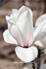 Magnolia 'Royal Flush' - Sierboom - Hortus Conclusus  - 5
