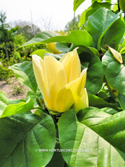 Magnolia 'Yellow Bird' - Sierboom - Hortus Conclusus  - 5