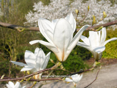 Magnolia 'Yellow River' - Sierboom - Hortus Conclusus  - 2