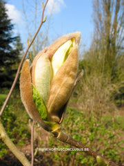 Magnolia 'Yellow River' - Sierboom - Hortus Conclusus  - 4