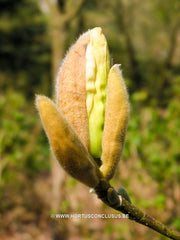 Magnolia 'Yellow River' - Sierboom - Hortus Conclusus  - 5